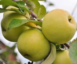Осенние сорта яблок, яблони, , сорта яблонь, яблоки