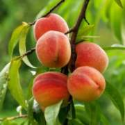 саженцы персика купить