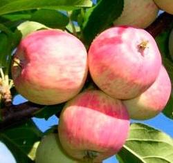 Обделена заслуженной популярностью морозостойкая яблоня Аркадик 92