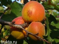 Большой абрикос