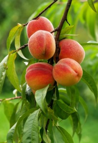 Персик сорта