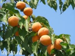 Абрикосы урожай
