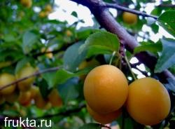 Сладкий абрикос