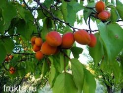 абрикосы урожайные