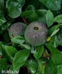 Семена айвы