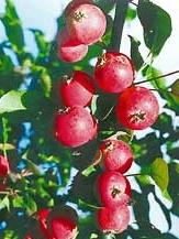 яблоня Алтайский голубок
