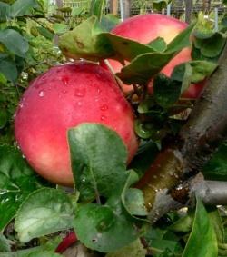 сорт яблони Апорт Александр