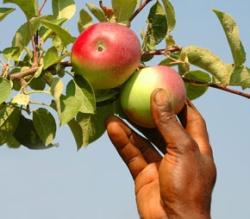 Хранение яблок  зимой