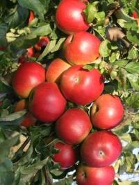 яблоко Айдаред