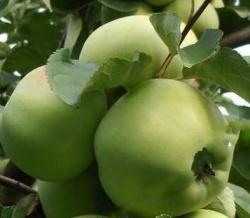 сорт яблони Бабушкино