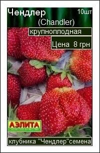 Сорт клубники Чендлер