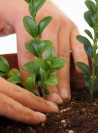 живці рослин