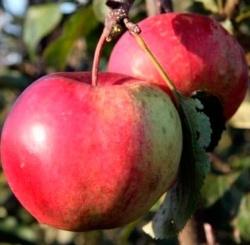 сотр яблони Дашенька (DA 6517)