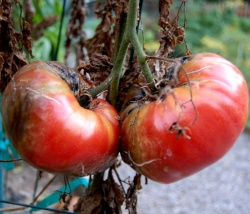 томаты поражены фитофторой