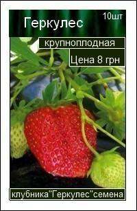 сорт клубники Геркулес
