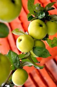 Уход за яблоками