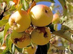 Яблоки Ренет