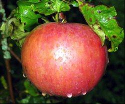 Питательные яблоки