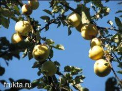 Кисловатые яблоки