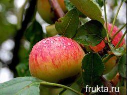 Сочное яблоко