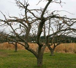 Як робити обрізку дерев?