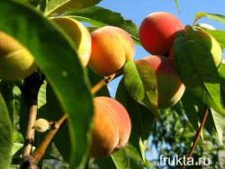 Сорт персика - Майский цветок.(Майфловер)