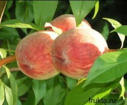 Сорт персика - Золотий ювілей