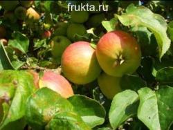 очень вкусные яблоки