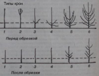тип кроны дерева