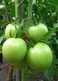 созревание помидор
