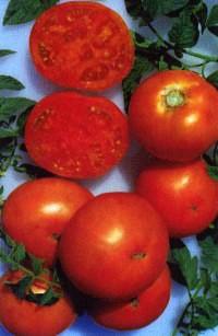 сорт томатов Незабудка