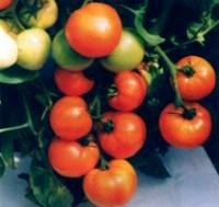 сорт томатов Нептун