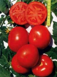 сорт томатов Меркурий