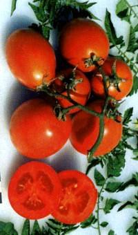 сорт томат Старт