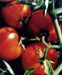 сорт томатов Астероїд
