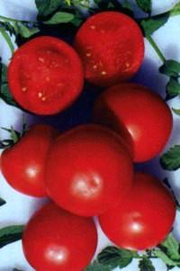 сорт томатов Примула