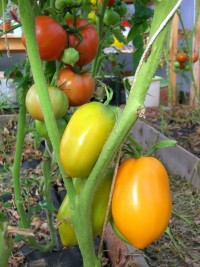 незрелые томаты