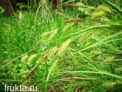 Смолы в травах