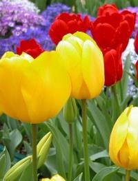 Тюльпаны уход