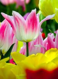 Тюльпаны віращивание