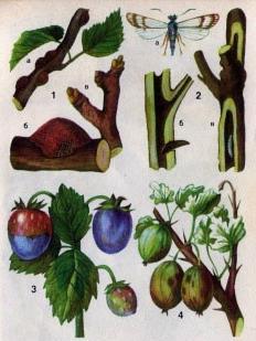 Вредители и болезни ягод и деревьев