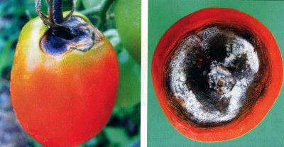 сухая пятнистость помидоров