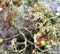 Хвороба фузаріозне в'янення томатів
