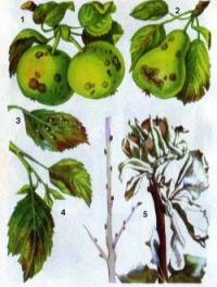 Суховершинность на яблоне