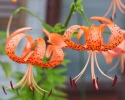Tiger Lily Lilium lancifolium Splendens