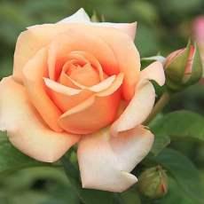 Абрикосова троянда сорт Вом Вишес (Warm Wishes)