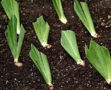 почва для ириса
