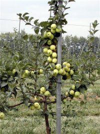 саженцы яблони купить