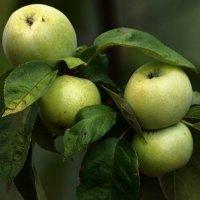 Apfelsorten in Zonen