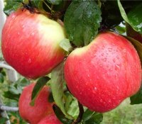 Adaptive Apfelsorten